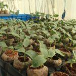 Cucumber seedlings in Jiffy 7C pellets size 50mmx60mm